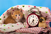 Orange and white kitten coming out heart sheet with alarm clock in studio