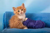 Orange and white kitten with purple ball of wool on blue blanket in studio