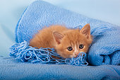 Orange and white kitten with wool on blue blanket in studio