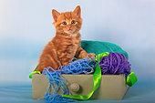 Orange kitten sitting inside drawer with balls of wool in studio
