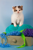Tabby and white kitten sitting inside drawer with balls of wool in studio