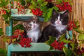 Tabby and white and tuxedo kittens sitting in shelf of red elderberries in studio