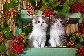 Tabby and white kittens sitting in shelf of red elderberries in studio