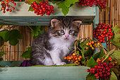 Tabby and white kitten sitting in shelf of red elderberries in studio