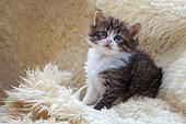 Tabby and white kitten sitting on sheepskin rug in studio