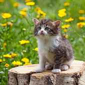 Tabby and white kitten sitting on log among yellow flowers in garden