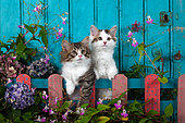 Tabby and white kittens sitting behind painted wooden fence and flowers by blue door in garden