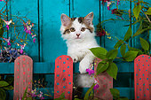 Tabby and white kitten sitting behind painted wooden fence and flowers by blue door in garden