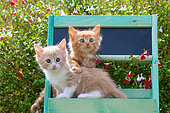 Orange and cream and white kittens sitting in green painted shelf by sage in garden