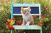 Cream and white kitten sitting in green painted shelf by sage in garden