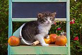 Tabby and white kitten sitting among freshly picked apples in green painted shelf in garden