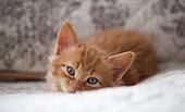 Head shot of orange kitten laying on white rug in studio