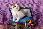 Tabby and white kitten coming out seam set suitcase on wool scarf in studio