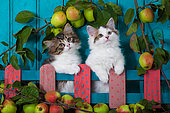 Tabby and white kittens sitting behind painted wooden fence and apples by blue door in garden