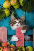 Tabby and white kitten sitting behind painted wooden fence and apples by blue door in garden