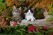 Tabby and black and white kittens sitting on log among autumn fern leaves in garden