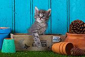 Tabby kitten standing in wooden box by fallen flower pots blue door background in studio