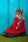 Tabby kitten coming out red shoe blue door background in studio