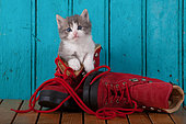 Gray and white kitten coming out red shoe blue door background in studio