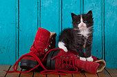 Tuxedo kitten coming out red shoe blue door background in studio