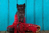 Black kitten coming out red shoe blue door background in studio