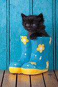 Black kitten coming out blue rainboot blue door background in studio