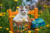 Tabby and white kitten sitting in basket on chair by yellow flowers in garden