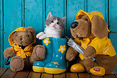 Gray and white kitten coming out blue rainboot with teddy bears blue door background in studio