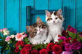 Tabby and white kittens sitting on chair by roses door background in studio