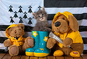 Tabby kitten coming out blue rainboot with teddy bears by breton flag blue door background in studio