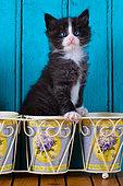 Tuxedo kitten sitting in flower pot blue door background in studio
