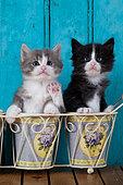 Kittens sitting in flower pots blue door background in studio
