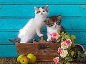 Tabby and white kittens sitting in flower box by apples and roses blue background in studio