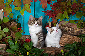 Tabby and white kittens sitting on wood pile by autumn leaves and blue background in studio