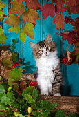 Tabby and white kitten sitting on wood pile by autumn leaves and blue background in studio
