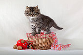 Tabby and white kitten standing on basket with red mouse toy in studio