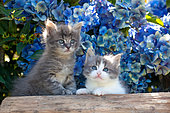 Tabby gray and white kittens sitting on log by blue hydrangeas in garden