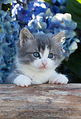Tabby gray and white kitten sitting on log by blue hydrangeas in garden