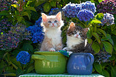 Tabby and white kittens sitting in green and blue pots by blue hydrangeas in garden