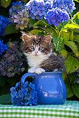 Tabby and white kitten sitting in blue pot by blue hydrangeas in garden