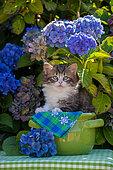 Tabby and white kitten sitting in green pot among hydrangeas in garden