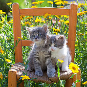 Tabby gray and white kittens sitting on old wooden chair by yellow flowers in garden