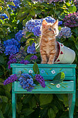 Orange and white kitten sitting on green shelf among hydrangeas in garden