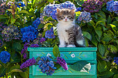 Tabby and white kitten sitting on green shelf among hydrangeas in garden
