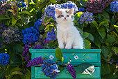 Calico kitten sitting on green shelf among hydrangeas in garden