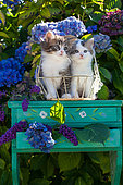 Calico and tabby and white kitten sitting on green shelf among hydrangeas in garden