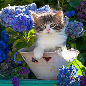 Tabby and white kitten sitting in pot with hearts among hydrangeas in garden