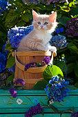 Orange and white kitten sitting in wooden pot among hydrangeas in garden