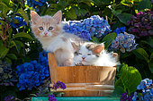 Calico and tabby and white kitten sitting in wooden pot among hydrangeas in garden
