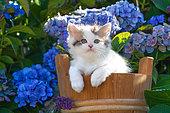 Calico kitten sitting in wooden pot among hydrangeas in garden